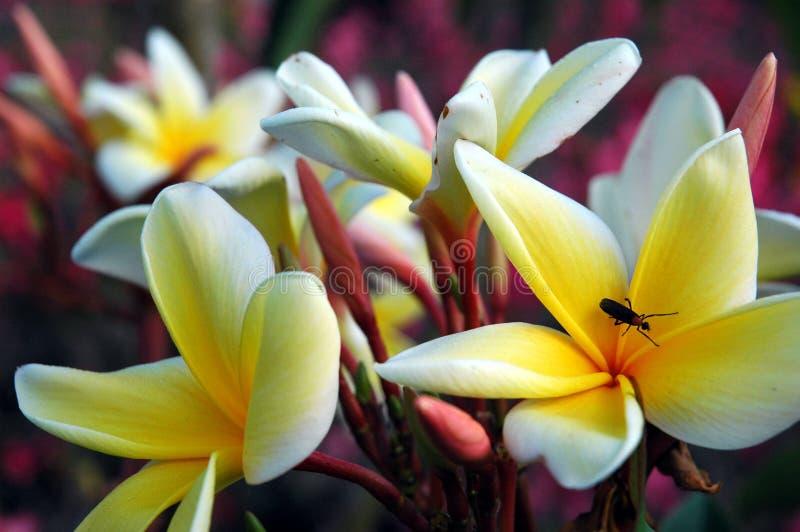 Het insect van de liefde op plumeria stock afbeeldingen