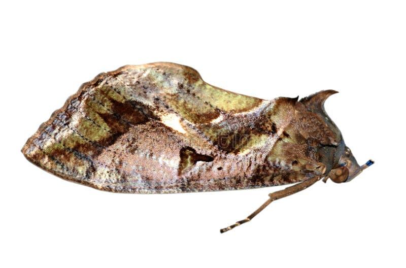 Het insect van de mot royalty-vrije stock afbeeldingen