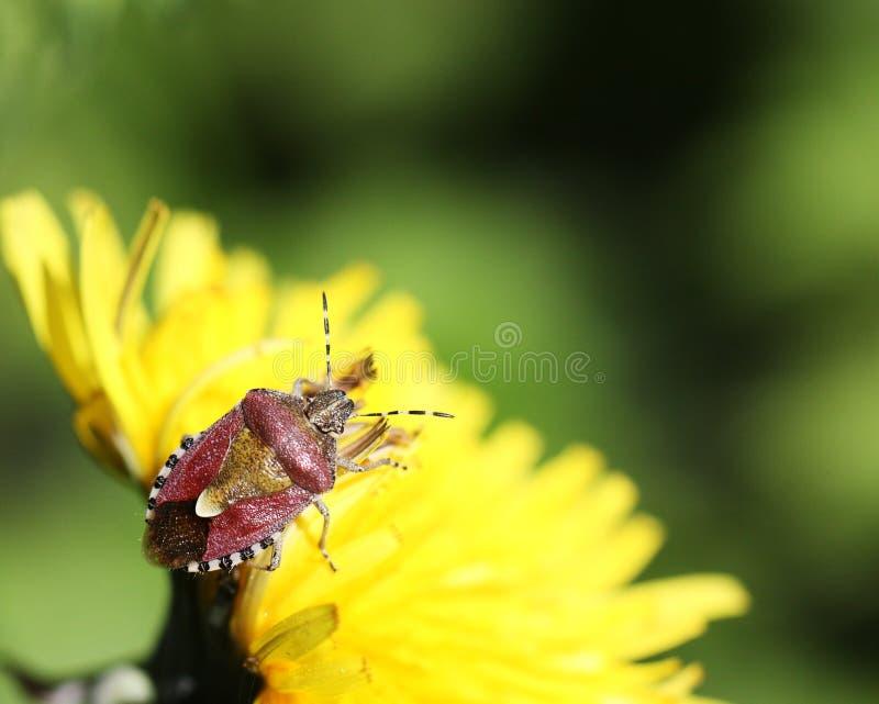 Het Insect van de sleedoorn of baccarum Dolycoris royalty-vrije stock foto's