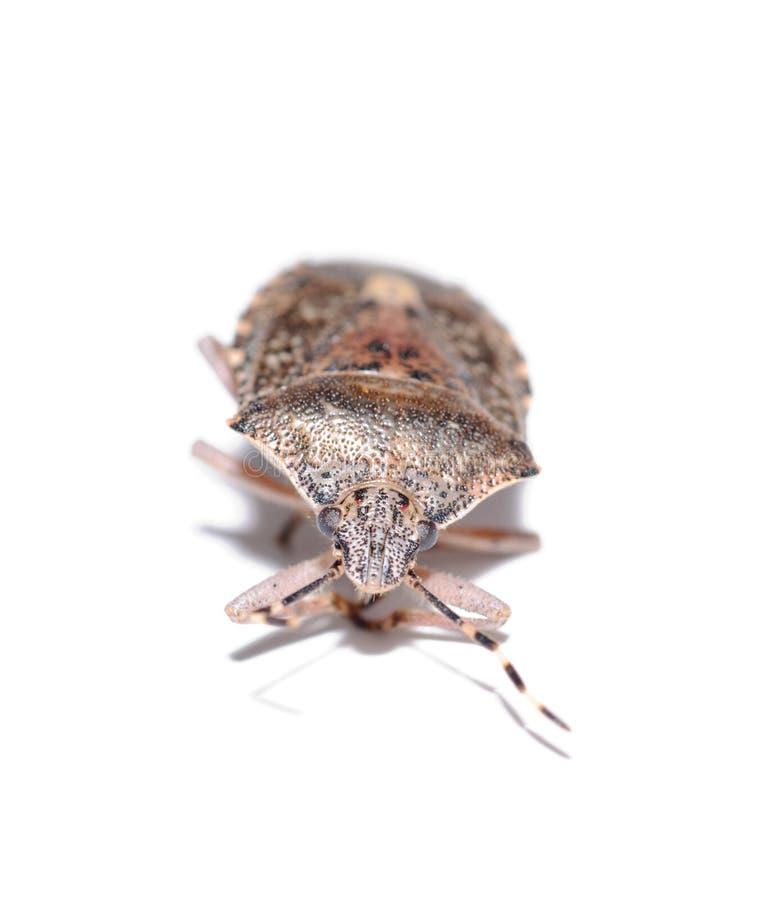 Het insect van de sleedoorn, de isolatiewit van dolycorisbaccarum royalty-vrije stock foto's