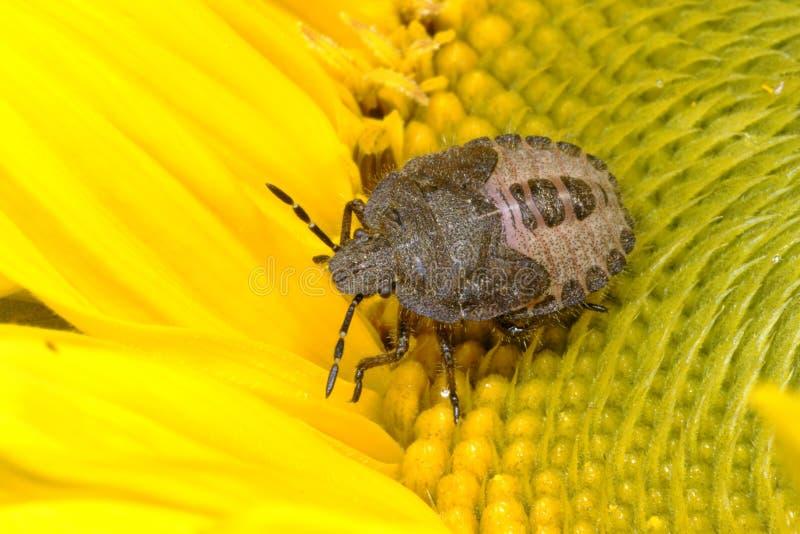 Het insect van de sleedoorn, dolycorisbaccarum stock foto