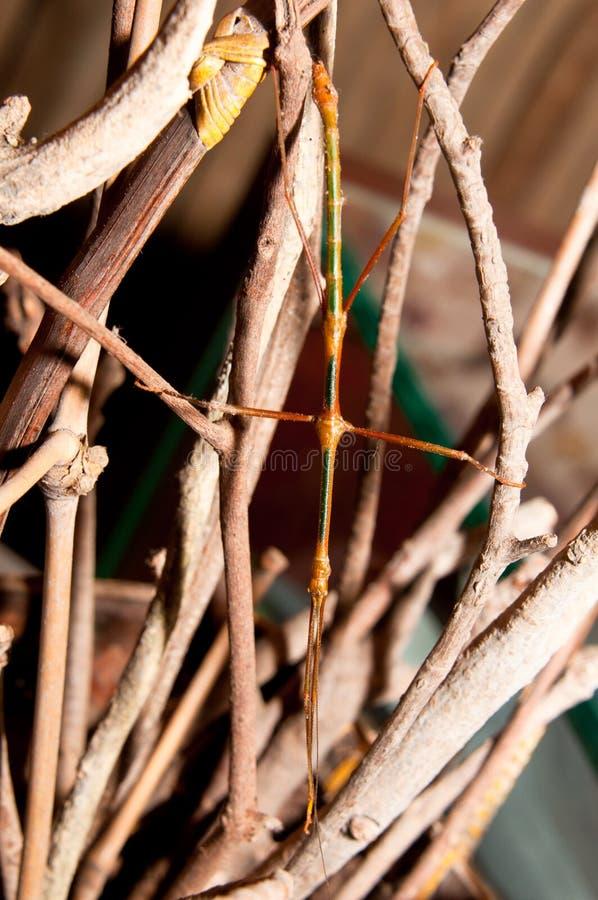 Het Insect van de wandelstok stock foto's