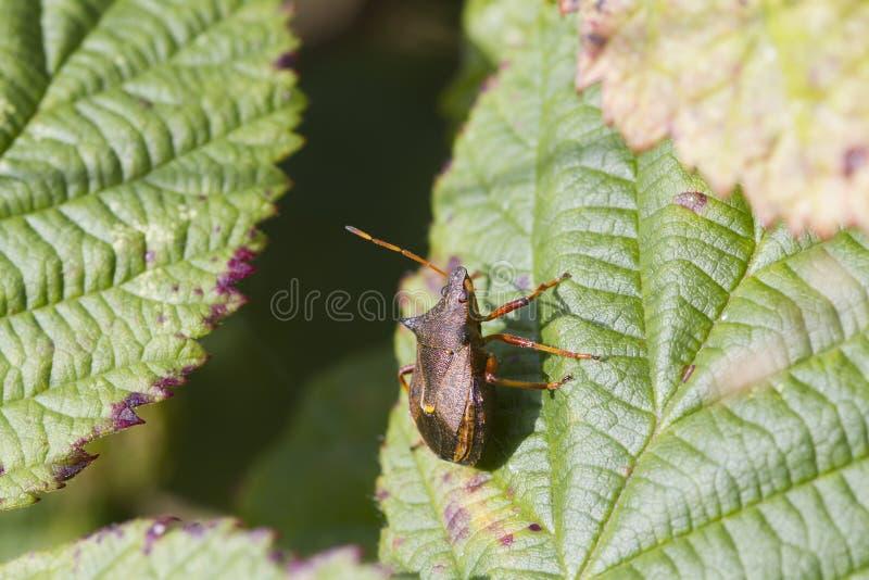 Het insect van het schild royalty-vrije stock foto's