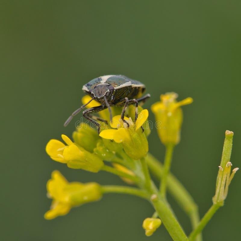 Het Insect van het schild stock fotografie