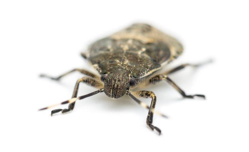 Het Insect van het schild, luridus Troilus royalty-vrije stock foto's