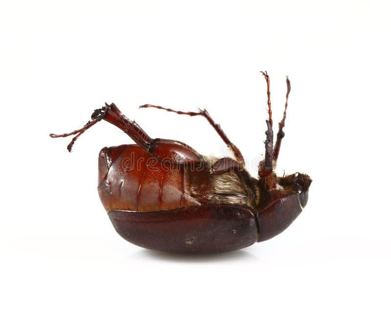 Het Insect van juni stock foto