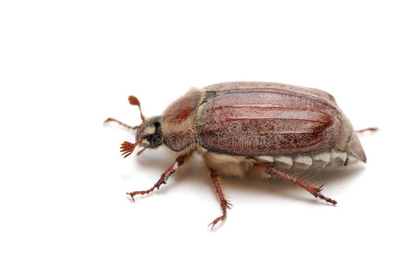 Het insect van mei stock fotografie