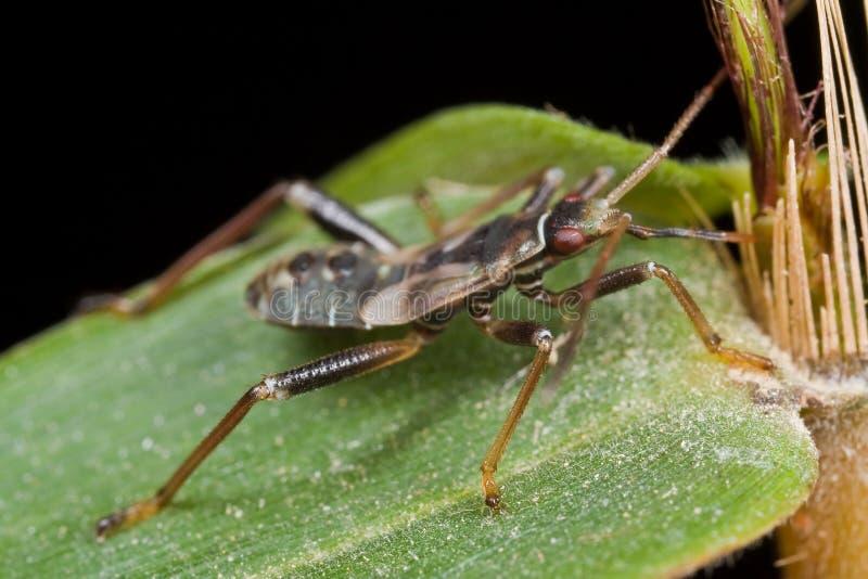 Het Insect Van Mirid/van Het Installatieinsect Het Zuigen Bamboesap Royalty-vrije Stock Fotografie
