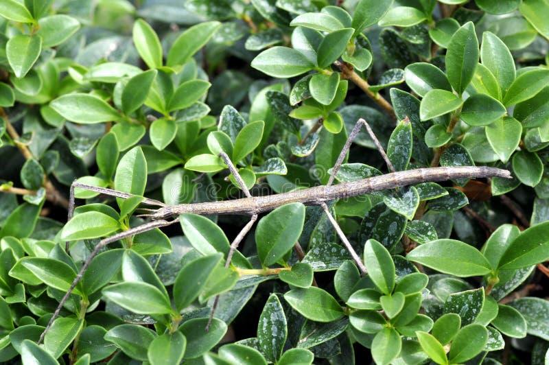 Het insect van Phasmida op bladeren royalty-vrije stock afbeeldingen
