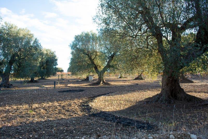 Het Italiaanse Platteland van Olive Tree Plantation In The in November stock foto