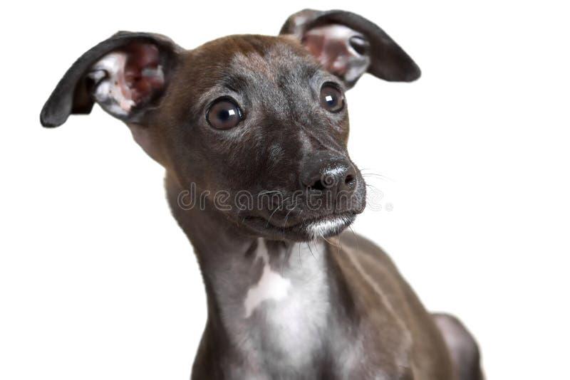 Het Italiaanse Portret van het Windhondpuppy stock afbeelding