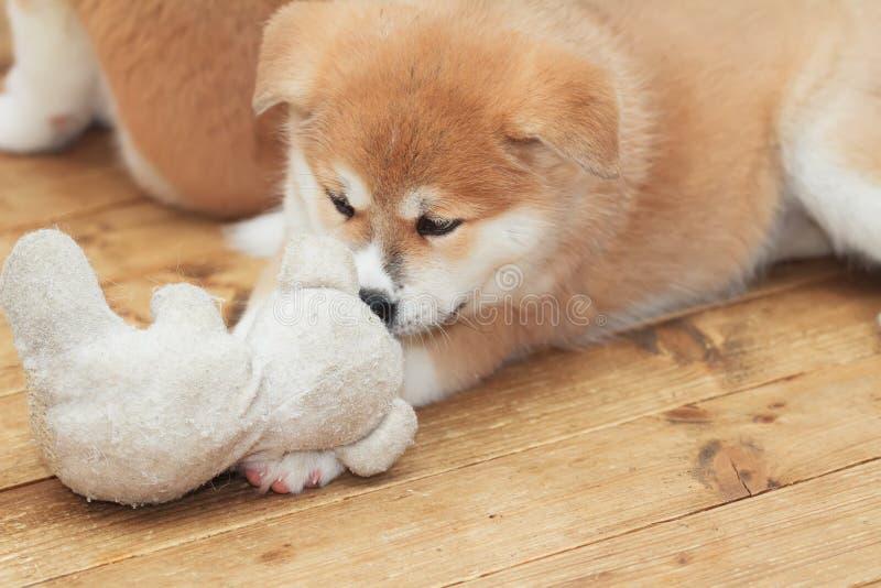 Het Japanse akita-inupuppy spelen met stuk speelgoed vriend stock foto's