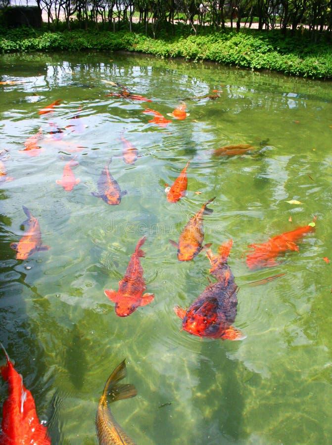 Het Japanse geschakeerde karpers zwemmen royalty-vrije stock foto