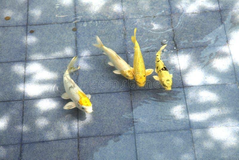 Het Japanse zwemmen van Koi of van de Karper stock foto's