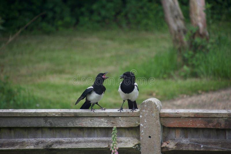 Het jeugdekster squawking bij zijn ouder, die zich op een omheining in het platteland bevinden royalty-vrije stock fotografie
