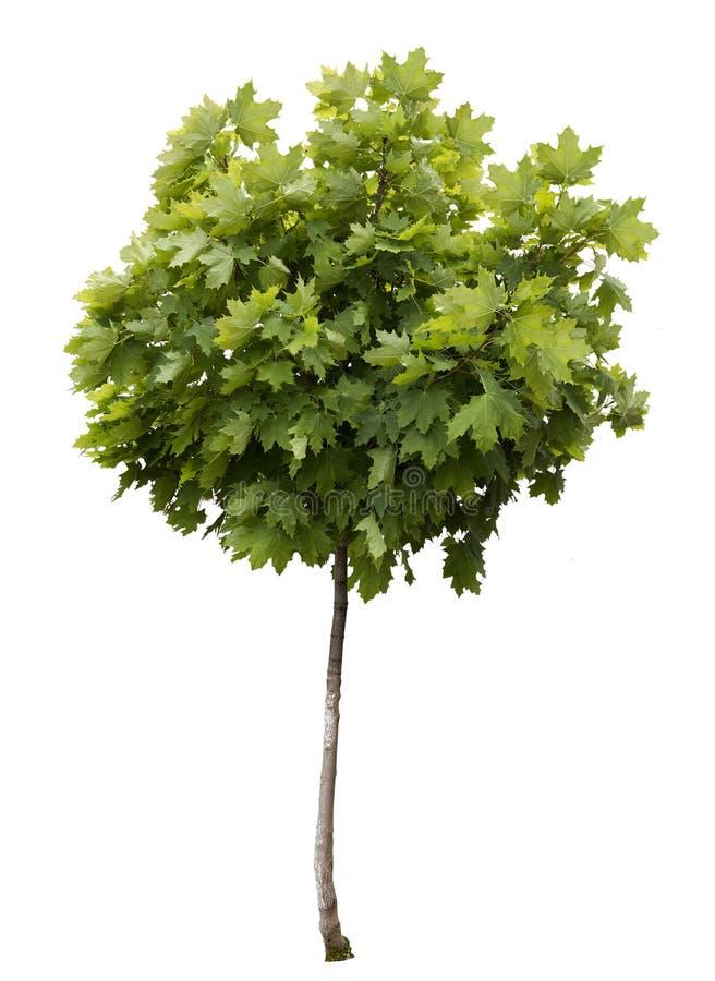 Het jong boompje van de esdoorn jongelui vector illustratie