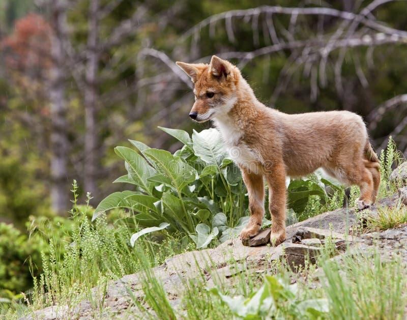 Het jong Canis van de coyote latrans stock foto