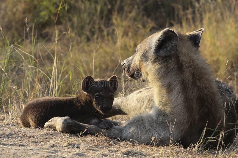 Het jong en de moeder van de hyena stock foto