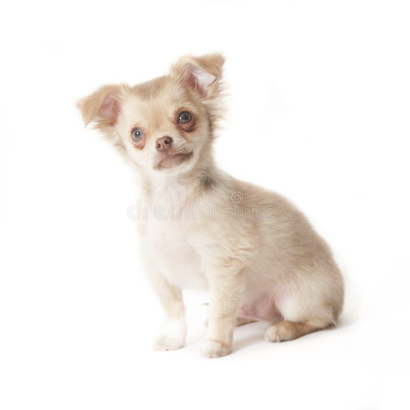 Het jong van Chihuahua stock afbeelding