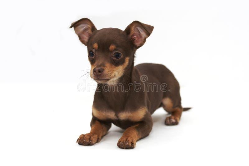Het jong van Chihuahua royalty-vrije stock afbeelding
