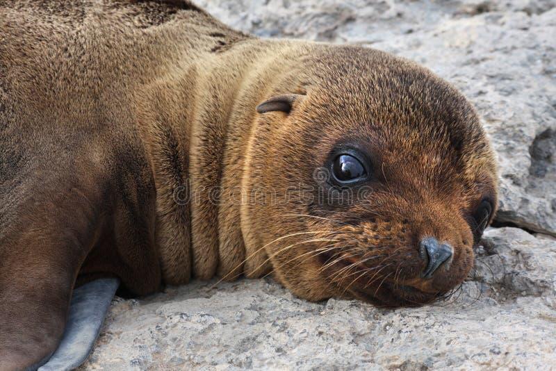 Het Jong van de zeeleeuw royalty-vrije stock fotografie