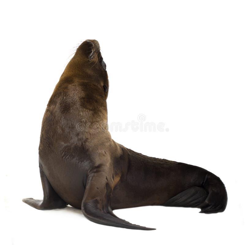 Het jong van de zeeleeuw (3 maanden) stock foto's