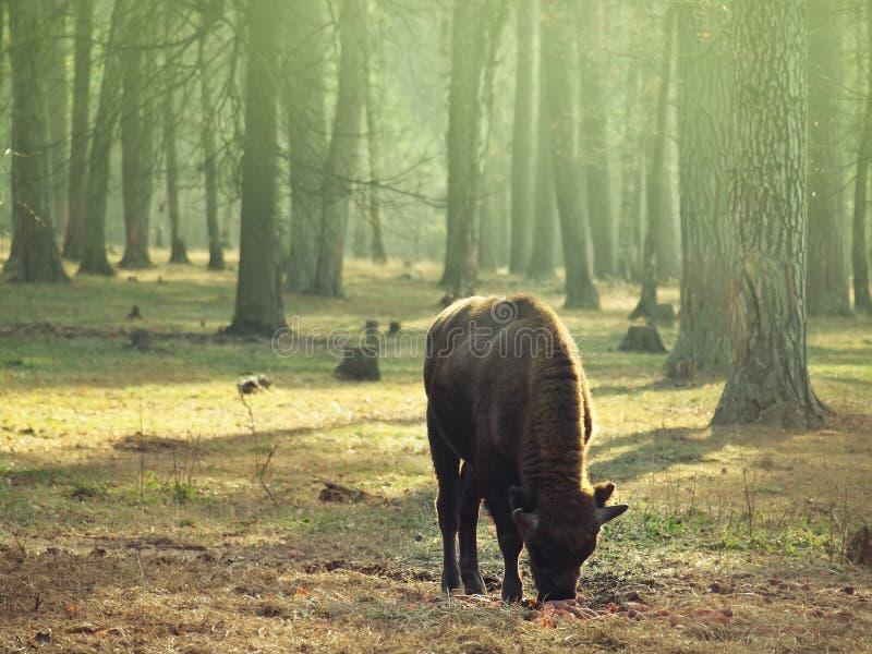 Het jonge bizonkind weiden op de weide stock afbeelding