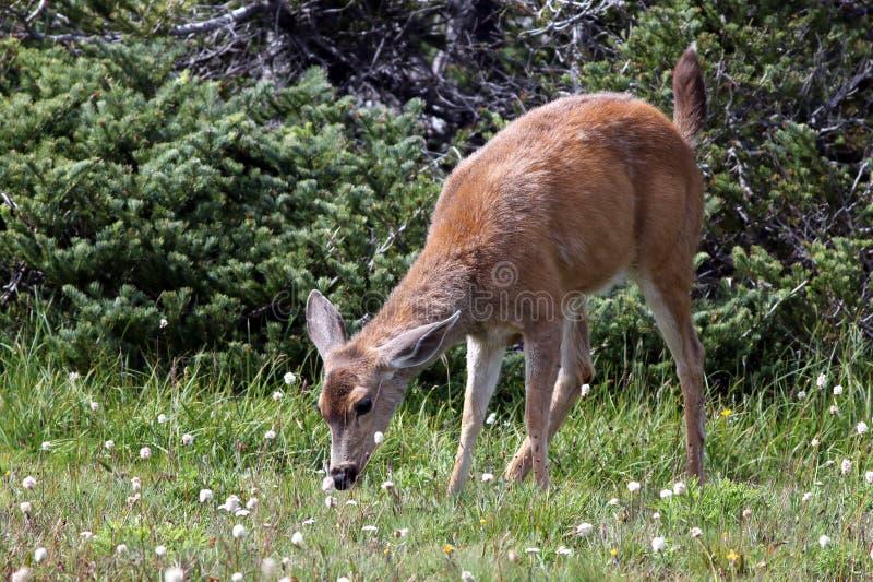 Het jonge Blacktail-Herten Voeden stock afbeeldingen