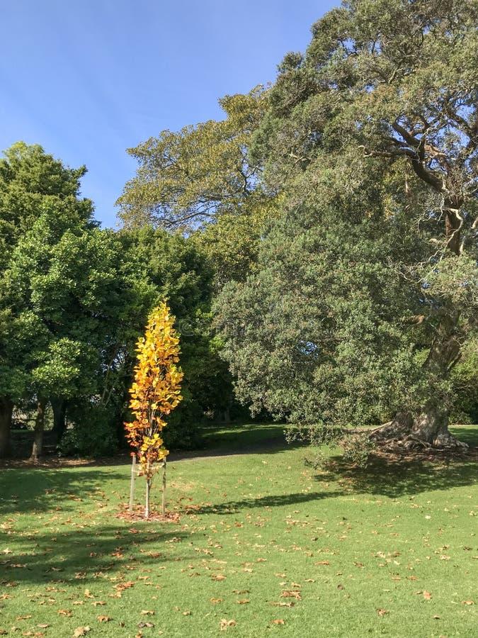 Het jonge boompje van de herfstbladeren royalty-vrije stock afbeeldingen