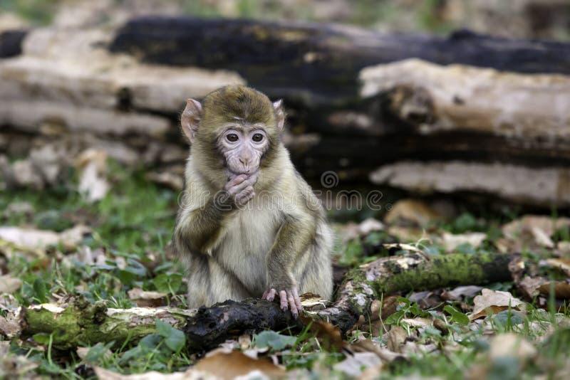 Het jonge de aap van Barbarije eten royalty-vrije stock afbeeldingen