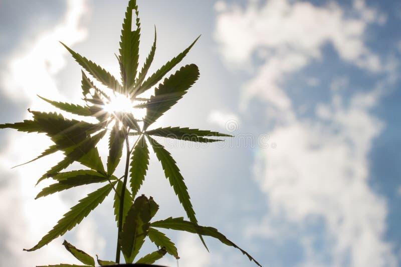 Het jonge detail van de de marihuanainstallatie van de cannabisinstallatie onder zon stock fotografie