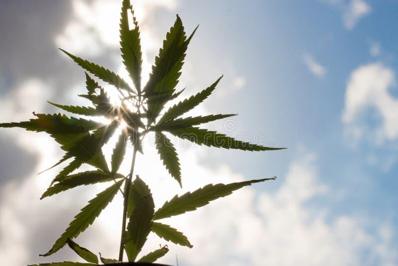 Het jonge detail van de de marihuanainstallatie van de cannabisinstallatie onder zon royalty-vrije stock afbeelding