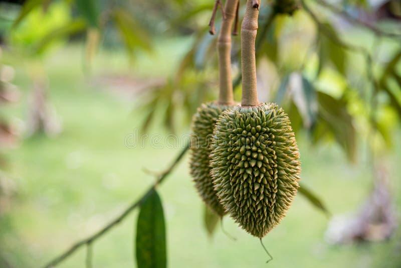 Het jonge durian fruit stock afbeeldingen