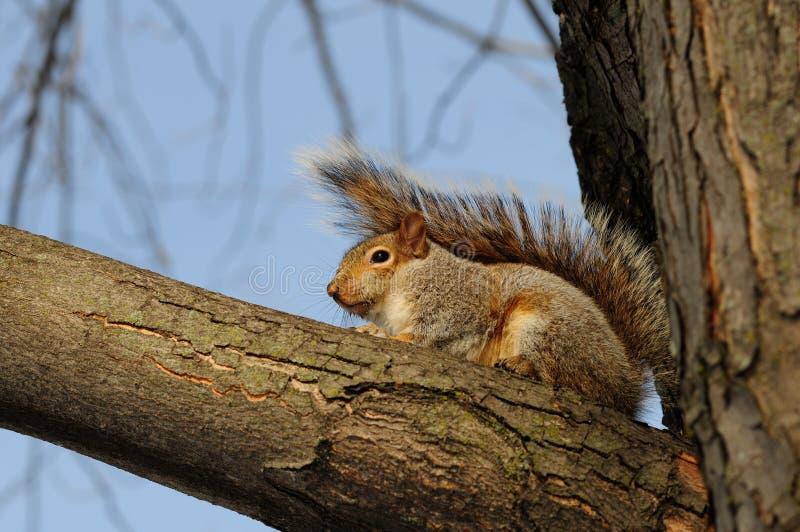 Het jonge eekhoorns spelen stock foto