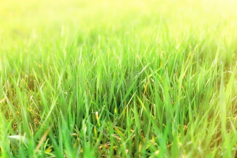 Het jonge gebied van de tarwe groene, organische tarwe vroeg in de lente stock afbeelding