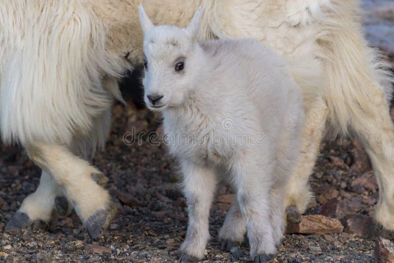 Het Jonge geitje van de berggeit stock afbeelding