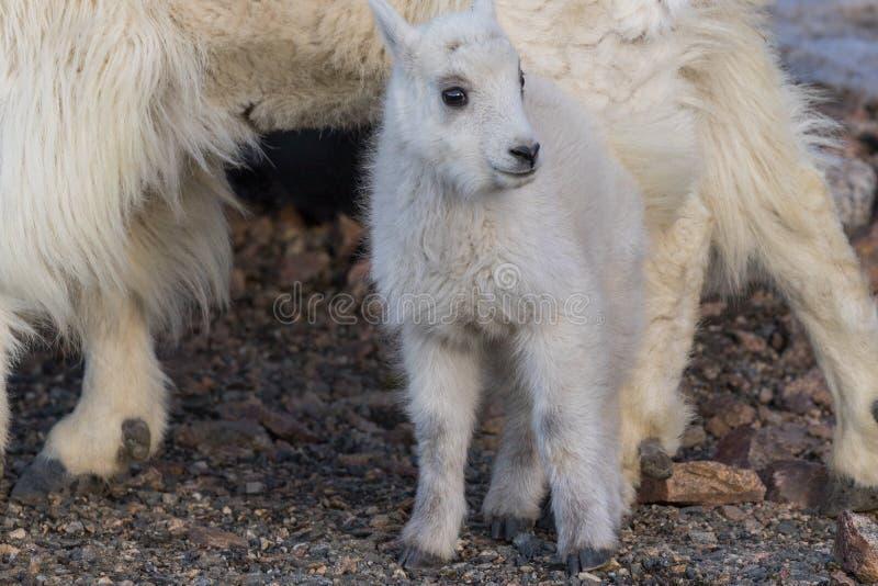 Het Jonge geitje van de berggeit stock fotografie