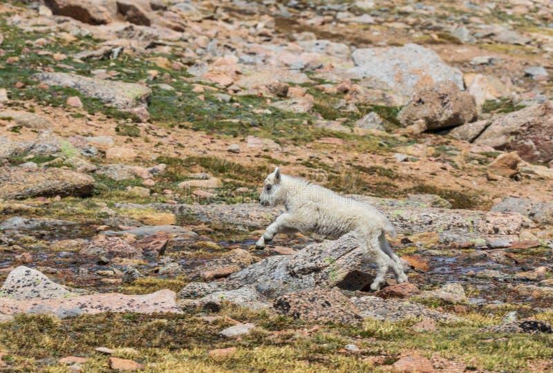 Het Jonge geitje van de berggeit het Lopen stock foto's