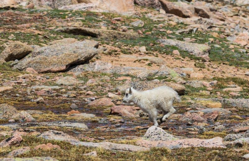 Het Jonge geitje van de berggeit het Lopen royalty-vrije stock afbeelding