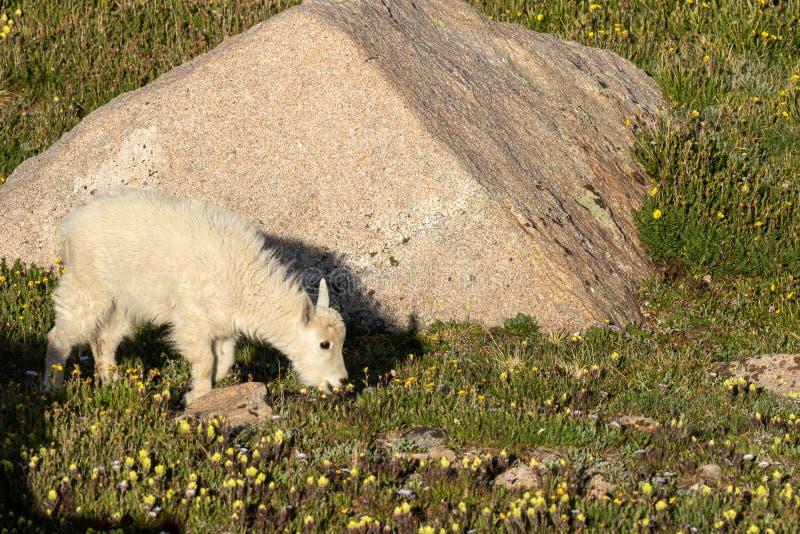 Het Jonge geitje van de berggeit in de Zomer royalty-vrije stock foto