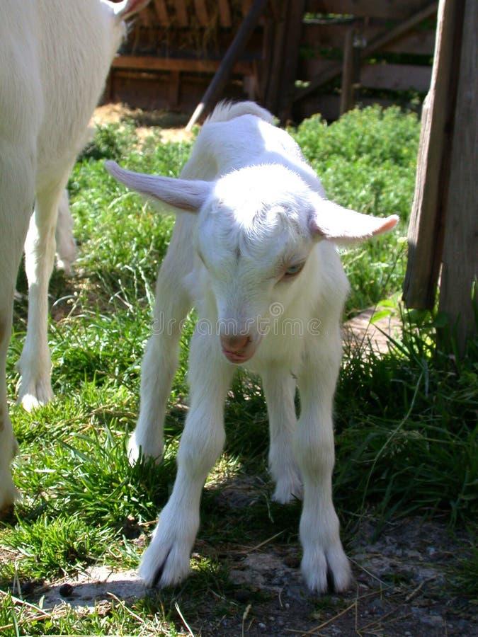 Het jonge geitje van de geit stock afbeeldingen