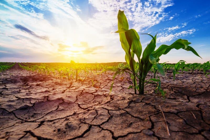Het jonge graan groeien in droog milieu stock fotografie