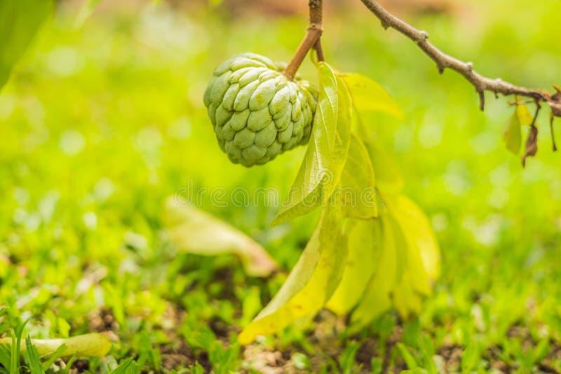 Het jonge groeien van Sugar Apple of van Vlaapple op boom in installatie van t stock afbeelding