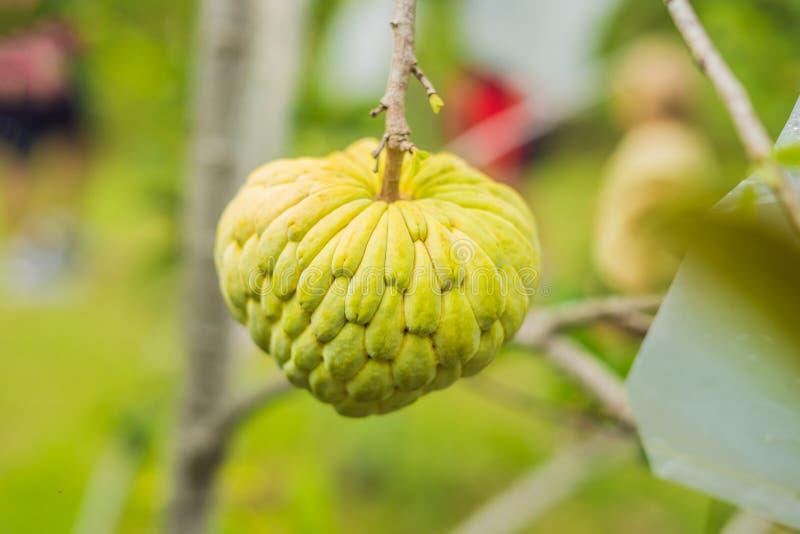 Het jonge groeien van Sugar Apple of van Vlaapple op boom in installatie van Thailand Cherimoya stock afbeelding