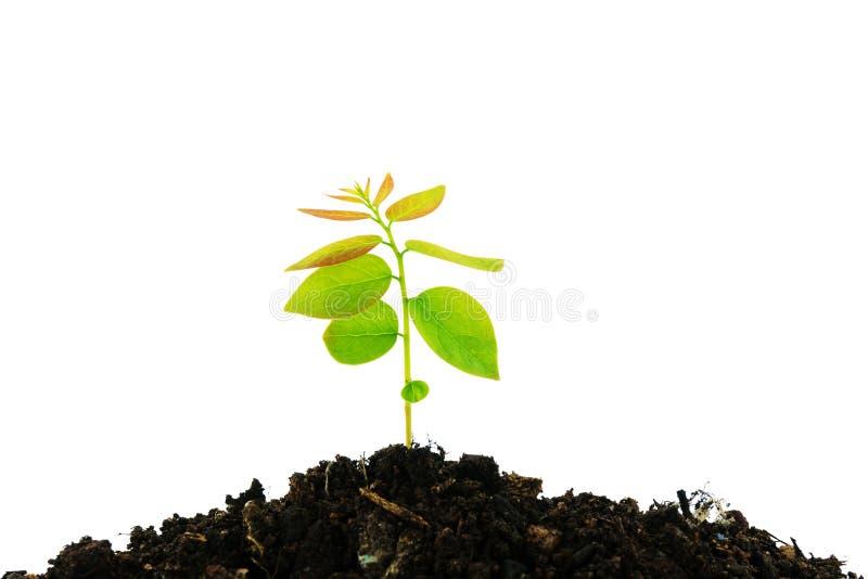 Het jonge groene die installatie groeien van stapel van grond op witte bedelaars wordt geïsoleerd royalty-vrije stock fotografie