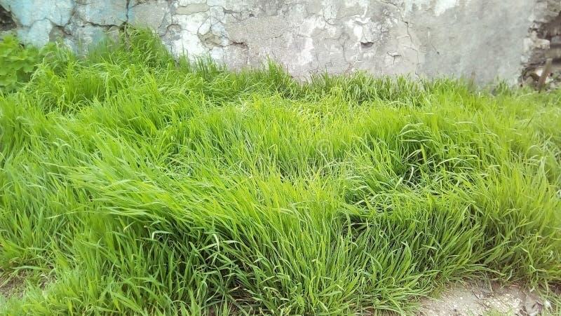 Het jonge groene gras tegen de achtergrond van een deel van het oude licht pleisterde muur royalty-vrije stock afbeeldingen