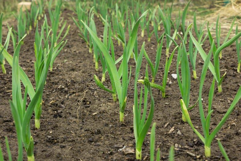 Het jonge groene knoflook groeien van de grond in de lenteclose-up stock afbeelding