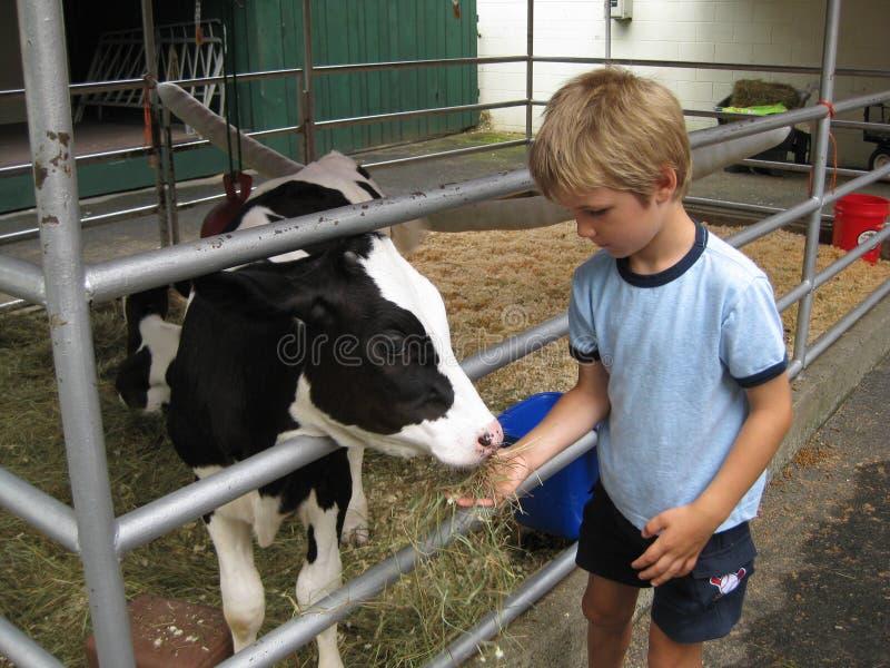 Het jonge jongen en kalf van Holstein stock foto's