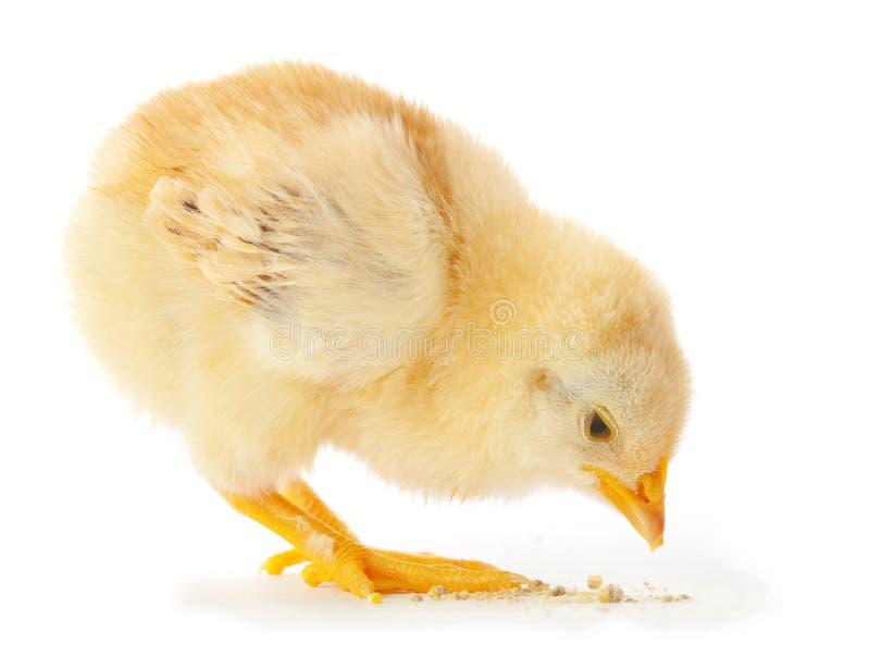 Het jonge kip eten royalty-vrije stock fotografie