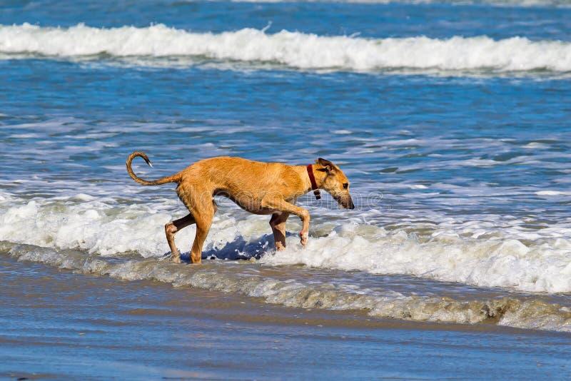 Het jonge kruisingshond gingerly lopen in overzees royalty-vrije stock foto's